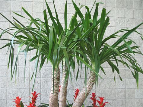 types of indoor plants yucca flowers pictures info indoor flower