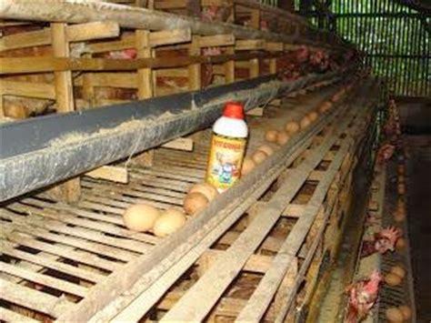 Vitamin Alami Untuk Ayam Petelur viterna plus mamfaat untuk ayam petelur solusi petani nasa