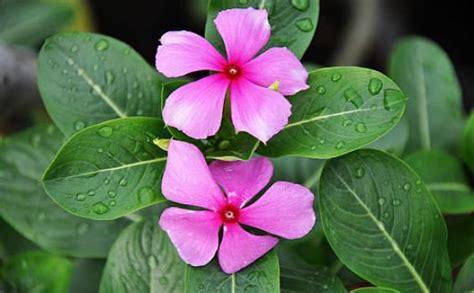 wallpaper bunga terompet tapak dara ciri ciri tanaman serta khasiat dan