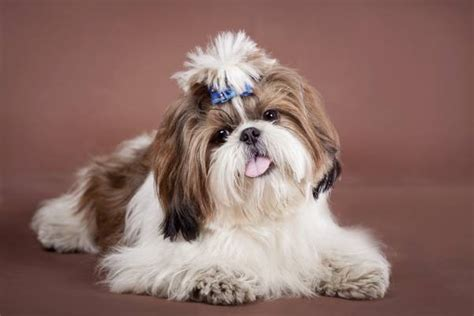 shih tzu dander most popular hypoallergenic non shedding breeds