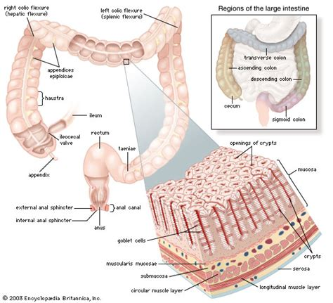 upper section of the small intestine large intestine britannica com