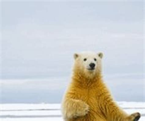 Dancing Polar Bear Meme - polar bear pictures photos images and pics for facebook