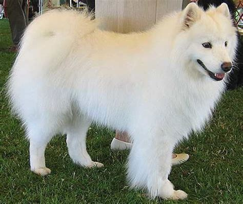white breeds pictures of big fluffy white dogs breeds picture