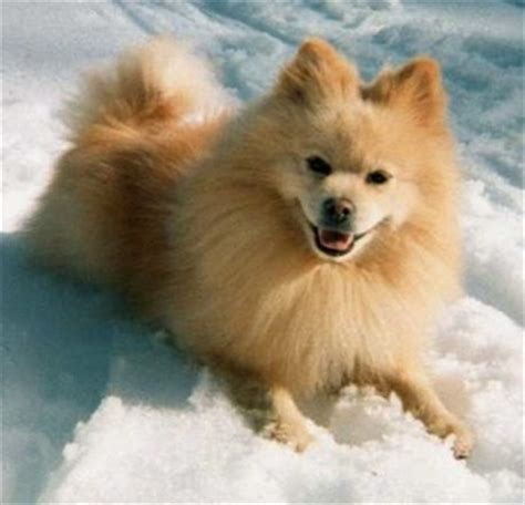 pomeranian and eskimo mix pomimo breed information and pictures