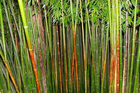 Bambus Im Balkonkasten by Bambus Teilen 187 Wann Wie Geht S Am Besten