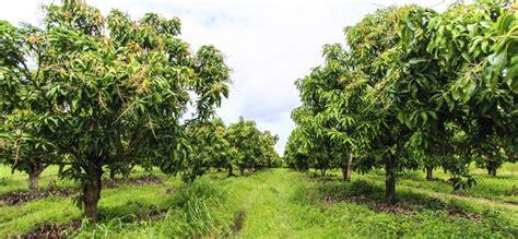 mango tree   hunker