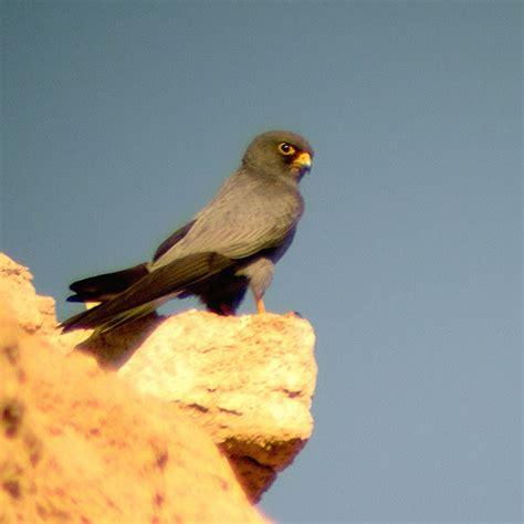 pay housebeautiful com sooty wikipedia the free encyclopedia sooty falcon falco