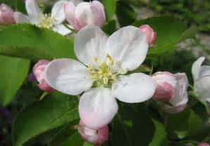 what is a state flower michigan s state flower in 1897 is also the state flower