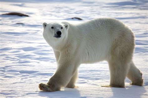 polar bear information fact  pictures  petworldsnet