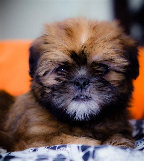 brussels shih tzu mix