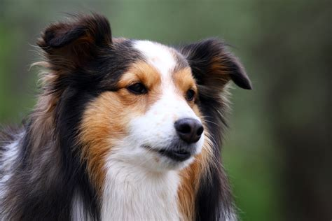 cutest breed breed sheltie wallpapers and images wallpapers pictures photos