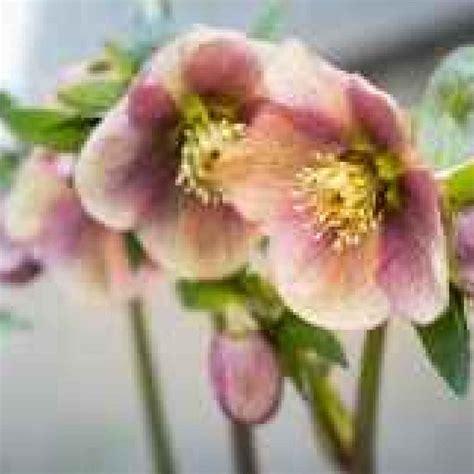 fiori invernali per giardino giardino in fiore anche in inverno con i fiori invernali