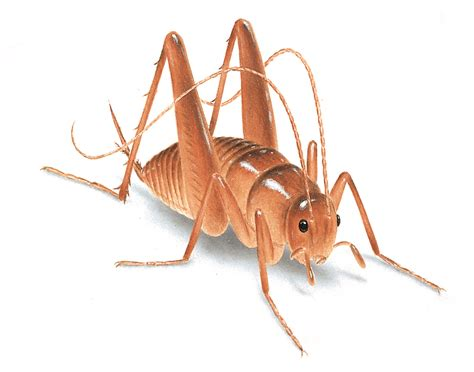 crickets in house meaning crickets facts identification orkin com