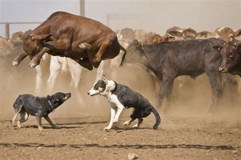 cow puppy cow jumping herding dogs photoshopbattles