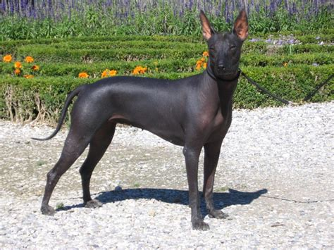 xolo puppies xoloitzcuntle in south africa wix