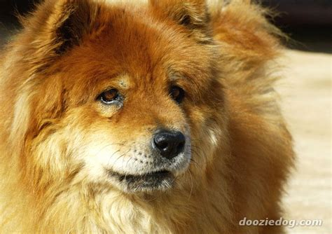 chow breed doganddogs wp content uploads 2014 08 chow chow 5 jpg memes