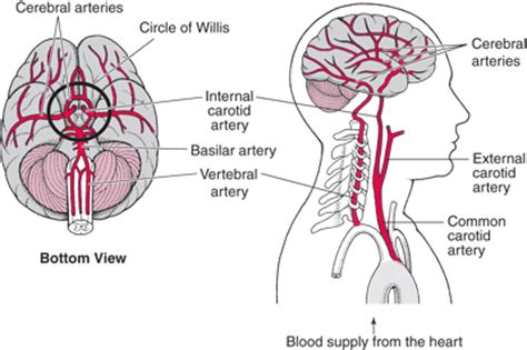 brain blood supply diagram overview of stroke brain spinal cord and nerve