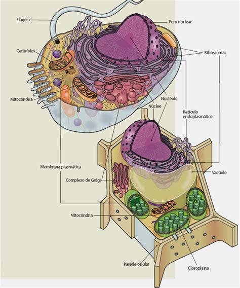 fotos de celulas animais c 233 lulas procari 243 ticas e eucari 243 ticas animais e vegetais