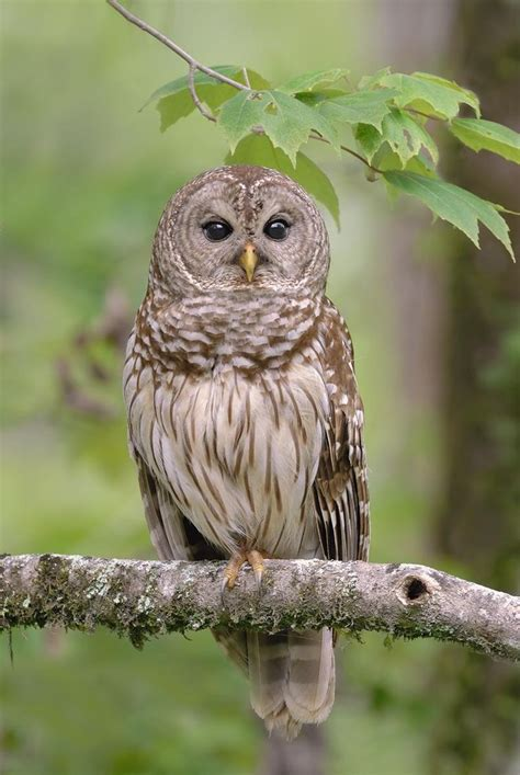 barred owl owls pinterest