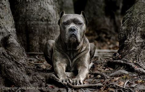 like war dogs corso the of war looks like a pit on steroids comes from the mastiff