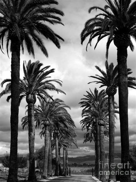 Palm Tree Wall Decor California Palms Black And White Photograph By Carol Groenen