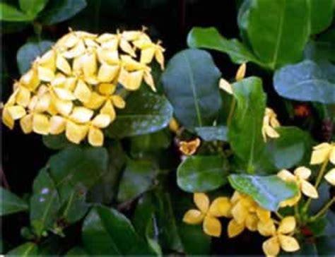 Ixora Az santan flower flowers ideas for review