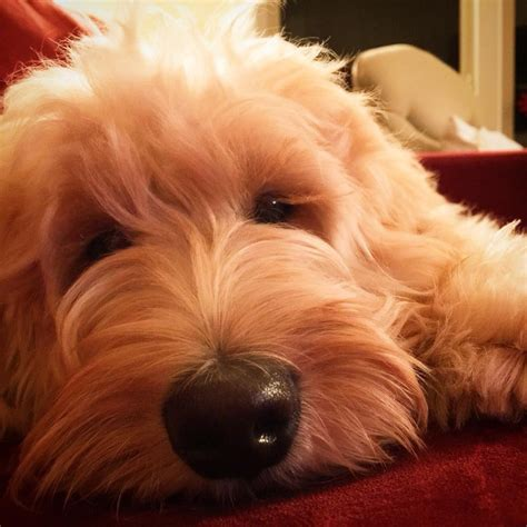 cost of labradoodle puppy northstar labradoodles available labradoodle puppies pricing payment