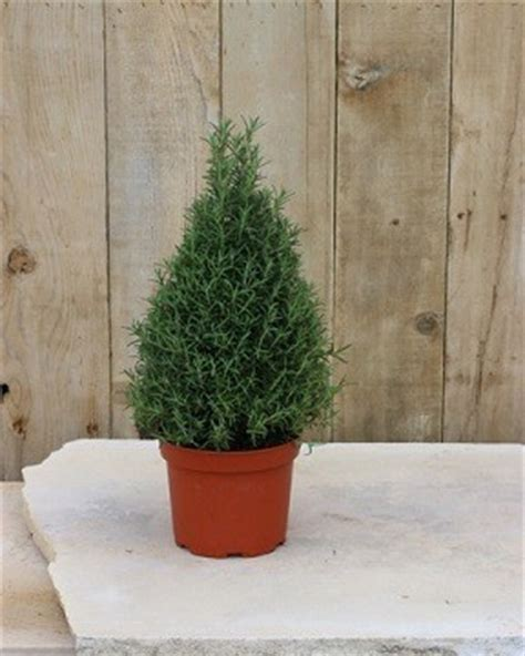 live rosemary topiary live cone topiary live spiral topiary trees from