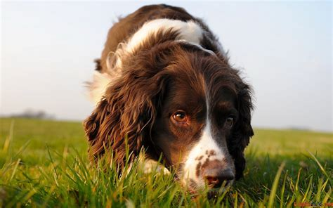 imagenes de english springer spaniel springer spaniel ingl 233 s english springer spaniel raza de