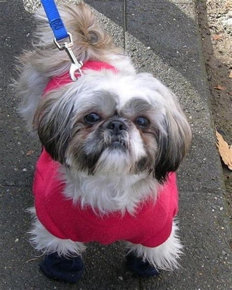 shih tzu where are they from 14 signs you re a shih tzu person and damn proud to be