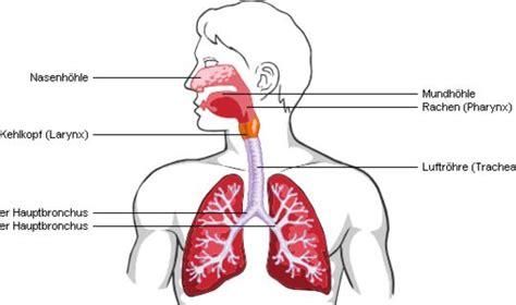 Beschriftung Lunge by Atemwege Netdoktor At