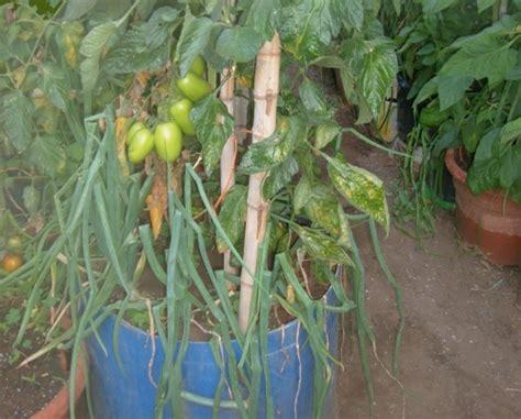 pomodori coltivati in vaso pomodori scegliamo le varieta da coltivare nell orto o