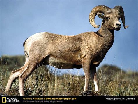 rams animal bighorn sheep picture bighorn sheep desktop wallpaper