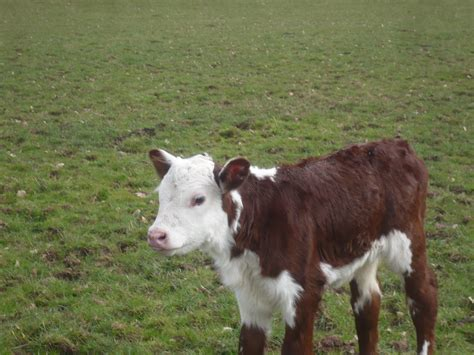 Bill s cattle hereford breeds