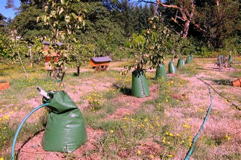 home orchard best way to water trees slowly clover - Best Way To Water Fruit Trees