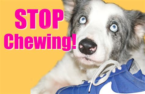 when do puppies stop chewing how to teach your puppy or to stop chewing
