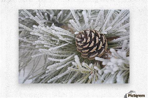 Pine Needle Heavy Metal Detox by Calgary Alberta Canada Needles Of A Pine Tree And A