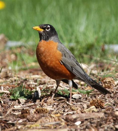 american robin birds at my house pinterest