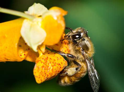 Yellow Bee honey bee honey bee management treatment