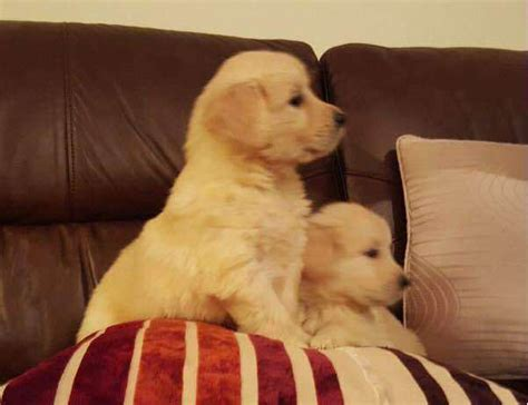 golden retriever puppies york pa gorgeous registered golden retriever puppies availabl for sale adoption from new york