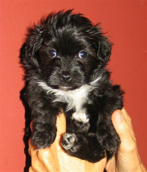 havanese dogs for sale alberta puppy pets alberta