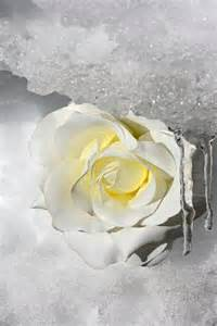 Table Of Contents Word 2010 White Rose In The Snow Photography Improvement