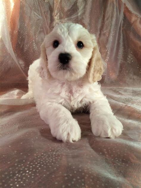 cockapoo puppies illinois looking for cockapoo puppies in iowa or minnesota