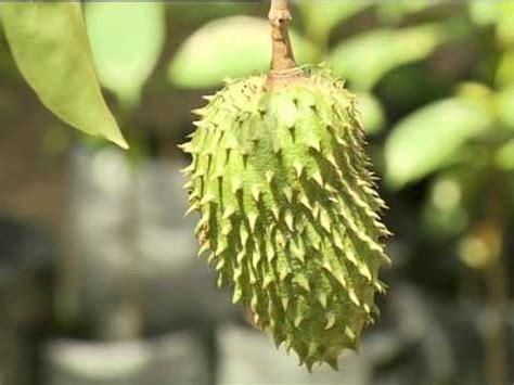 durian belanda annona herbs youtube