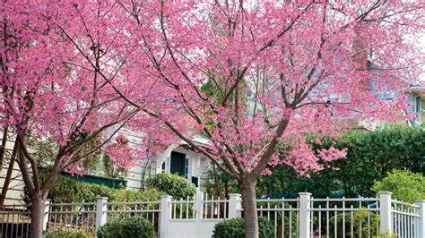 6 cherry tree gardens ramsgate okame cherry growing cherry blossoms southern living