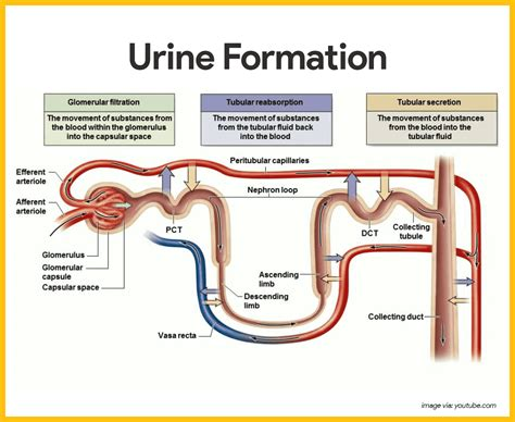 Picture Of Urinary Tract System