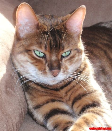 new breeds my new favorite cat breed the toyger mini tigers cats hq pictures