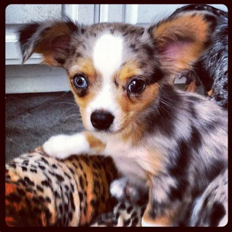 blue merle chihuahua puppies 1000 ideas about blue merle pomeranian on