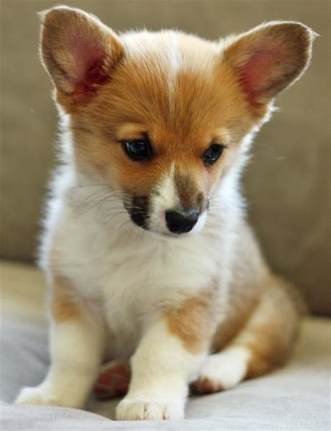 pictures of corgi puppies chewie the pembroke corgi puppies daily puppy