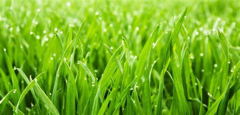 garden grass types lawn grass types installation tlc garden centers